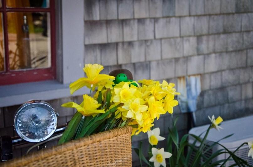 Terri the Terrapin enjoying the daffodils on Nantucket