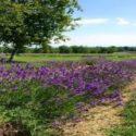 Lakes_Lavender1
